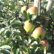 Mackle Apple Farms